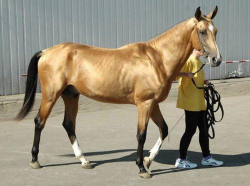 Фото лошади буланой масти