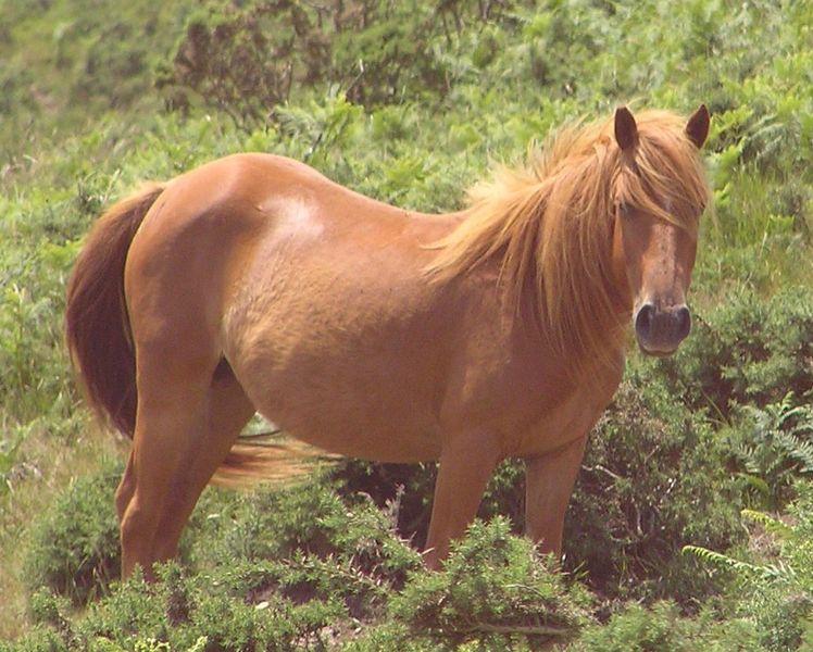 Фото Баскского пони рыжей масти