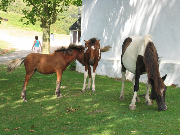 Фото Баскских пони