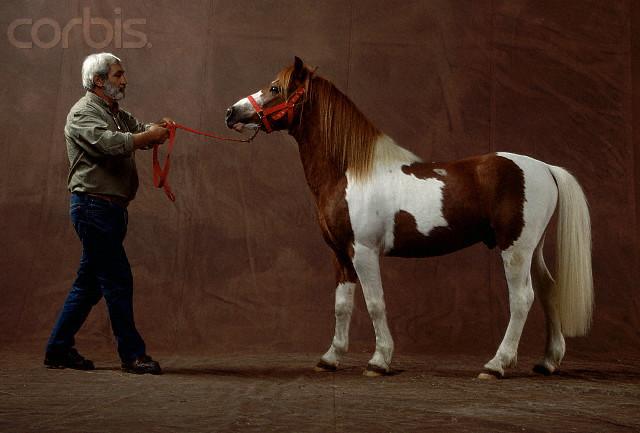 Фото Баскского пони рыже-пегой масти