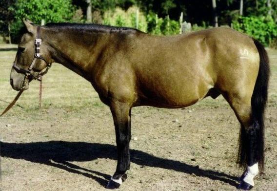 Фото пони породы галицено буланой масти