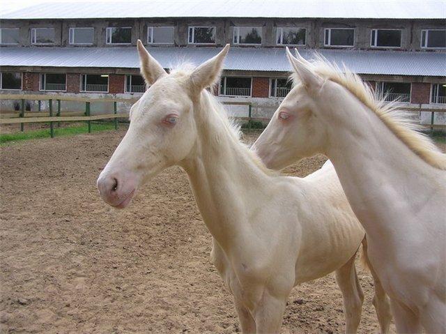 Изабелловая (кремовая) масть лошадей: фото, описание