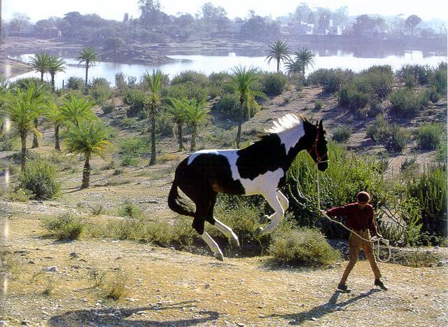 Фото марварской лошади пегой масти
