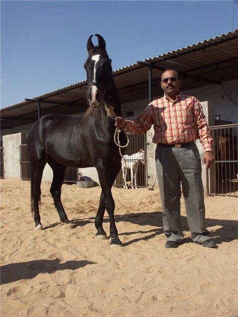 Фото марварской лошади вороной масти
