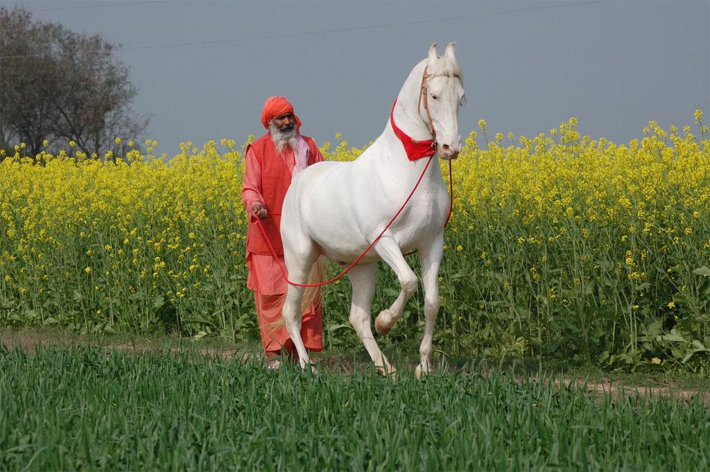 Фото марварской лошади светло-серой масти