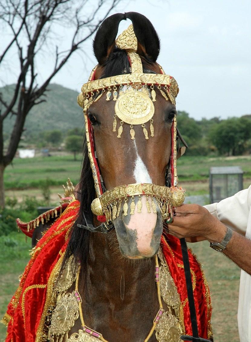 Фото марварской лошади гнедой масти