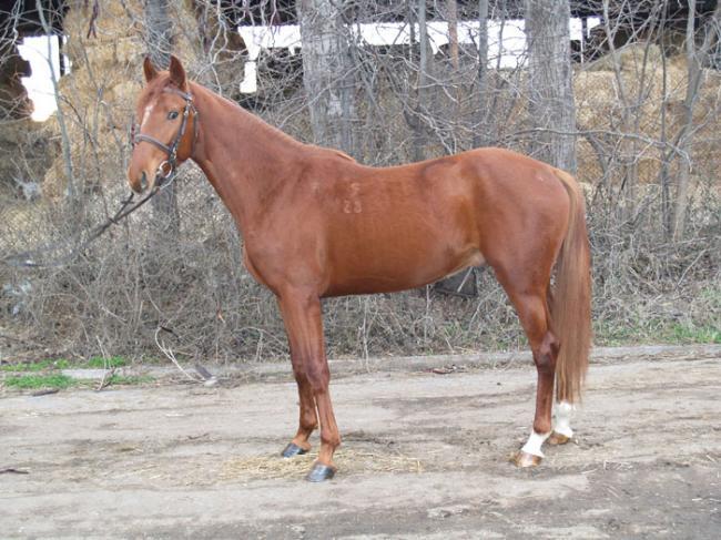 Фото лошади породы гидран рыжей масти