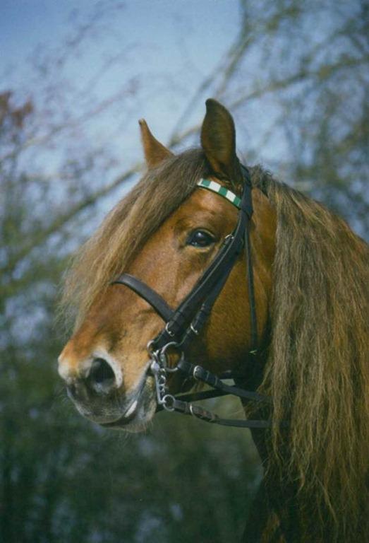 Фото комтойской тяжелоупряжной лошади рыжей масти