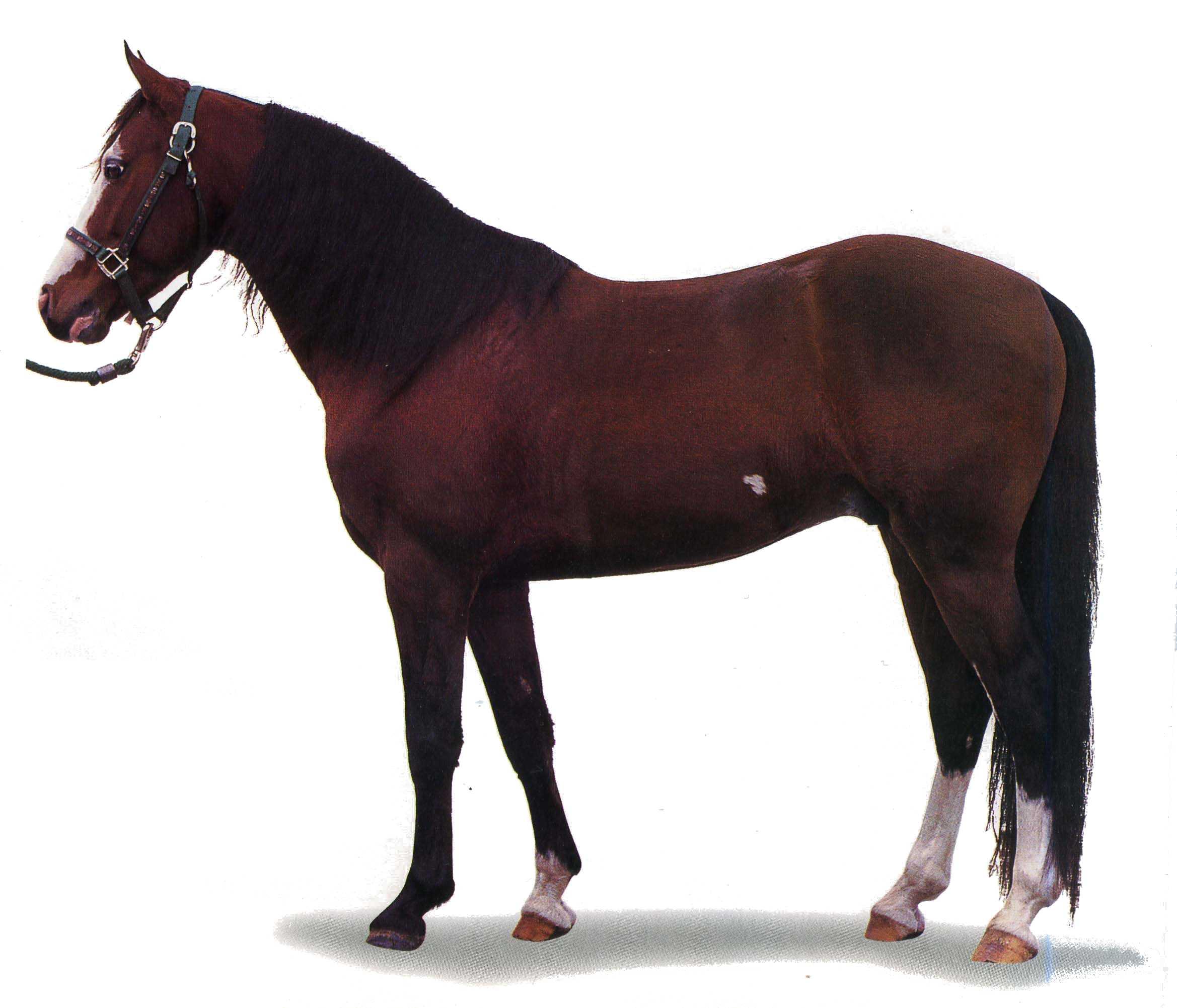 Фото лошади породы миссурийский фокстроттер гнедой масти