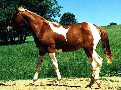Фото лошади породы миссурийский фокстроттер рыже-пегой масти