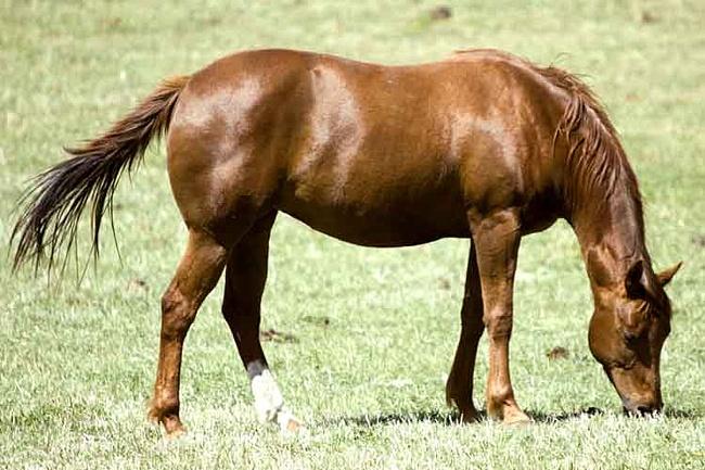 Фото лошади породы миссурийский фокстроттер рыжей масти