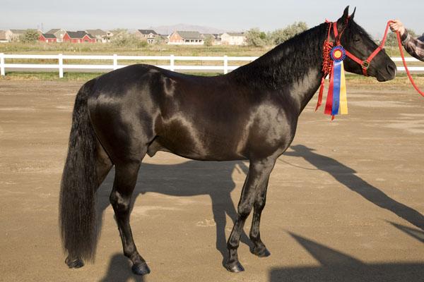 Фото лошади породы миссурийский фокстроттер вороной масти