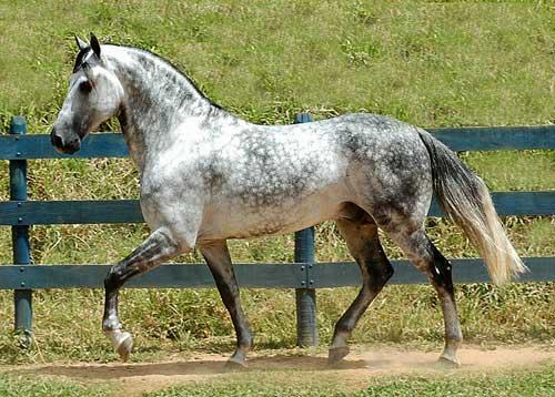Фото лошади  породы мангаларга маршадор серой в яблоках масти