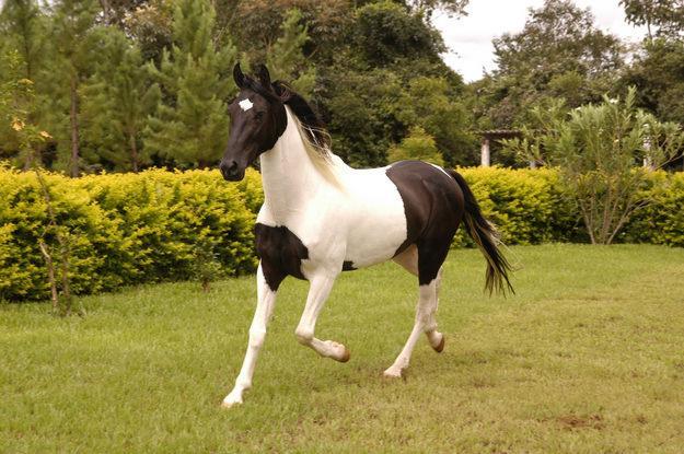 Фото лошади породы мангаларга маршадор вороно-пегой масти