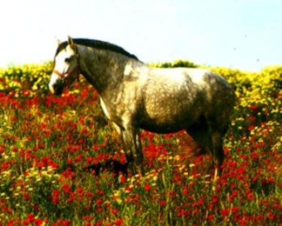 Фото лошади картезианской породы серой в яблоках масти