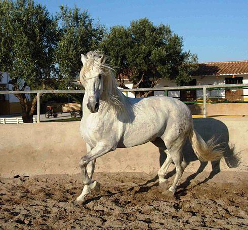 Фото лошади картезианской породы серой масти