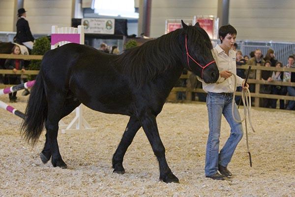 Фото лошади меренской породы вороной масти