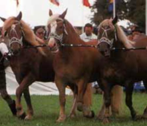 Фото лошадей игреневой масти южно-немецкой тяжелоупряжной породы