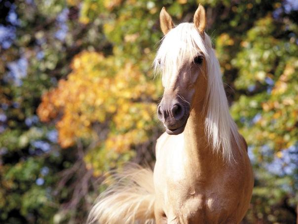 Фото пони породы Чинкотег соловой масти