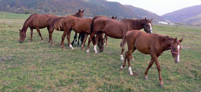 Фото лошадей породы плевен рыжей масти