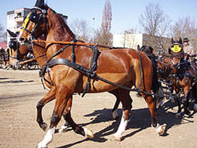 Фото лошадей гельдерлендской породы гнедой масти