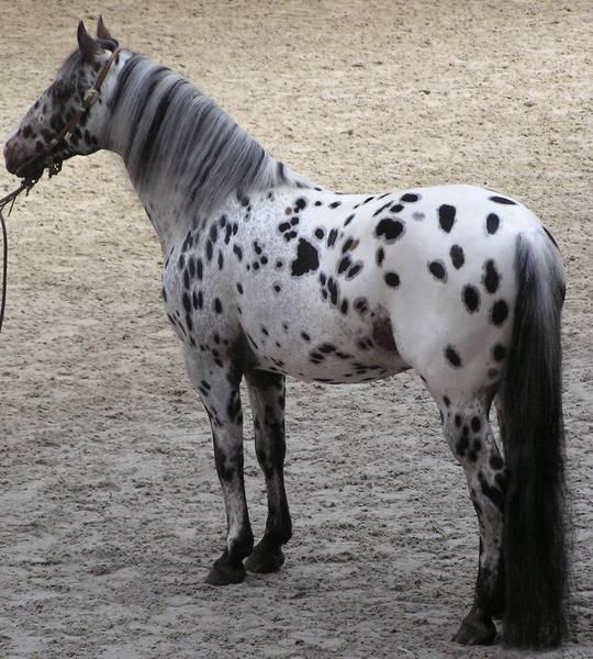 Фото лошади чубарой масти породы аппалуза