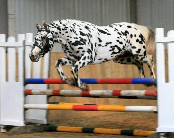 Фото лошади чубарой масти породы кнабструпп