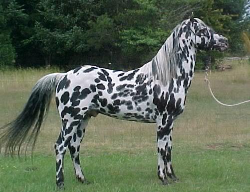 Чубарая масть лошадей: фото, описание