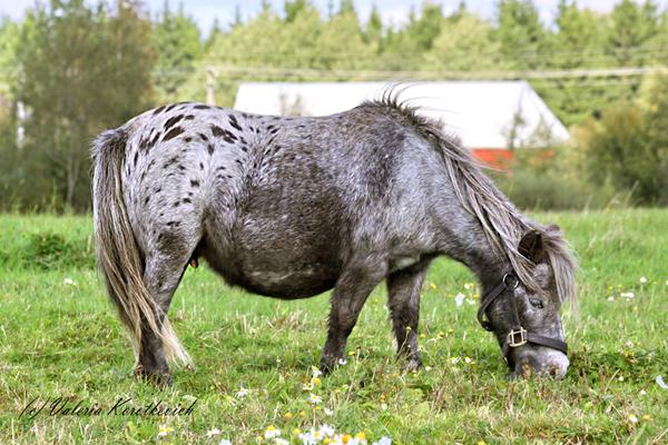Фото лошади мраморной чубарой масти