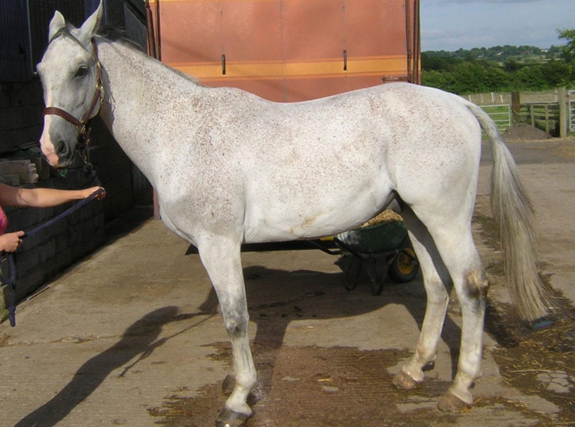 Серая в красную гречку (форелевая) масть лошадей: фото, описание