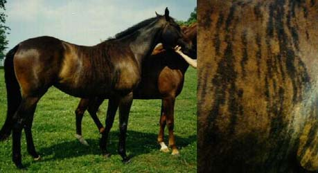 Фото лошади караково-чубарой тигровой масти