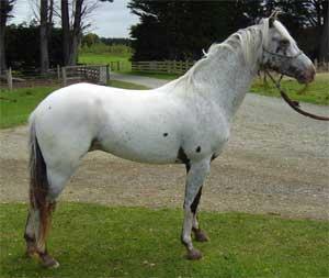 Фото лошади малопятнистой леопардовой масти