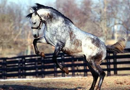 Фото лошади серой в яблоках масти