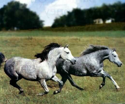 Фото лошадей серой в яблоках масти