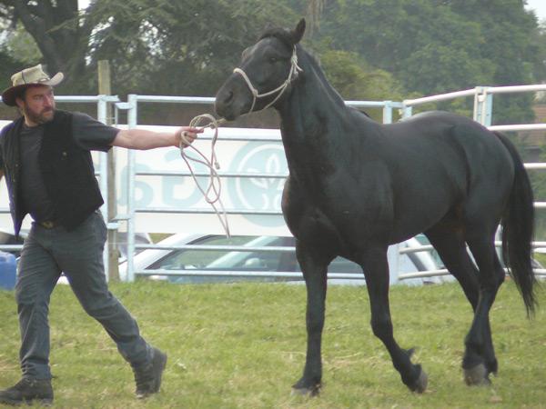 Фото лошади породы сан фрателло вороной масти