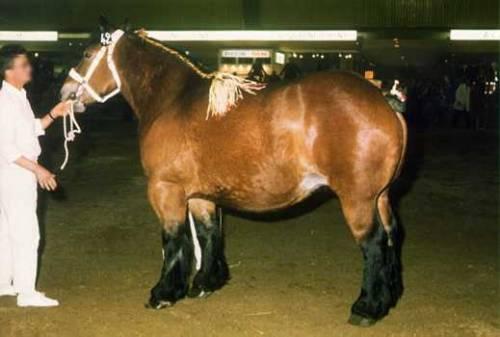 Фото лошади породы трейт ду норд гнедой масти