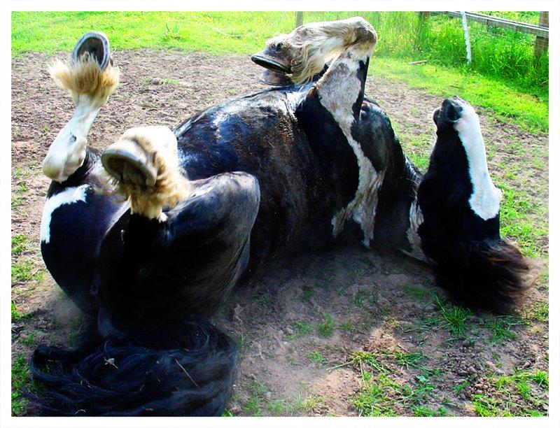 Фото лошади породы тинкер вороно-пегой масти