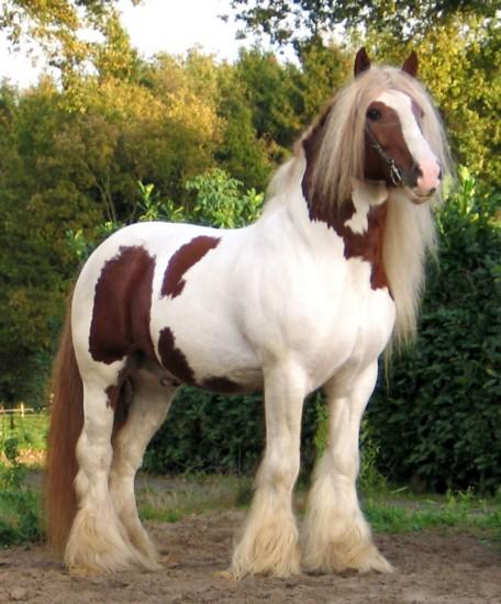 Фото лошади породы тинкер рыже-пегой масти