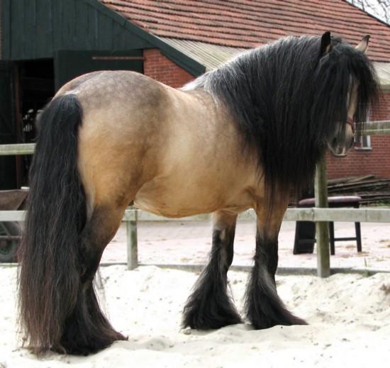 Фото лошади породы тинкер буланой масти