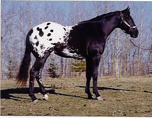 Фото лошади породы колорадо рейнджер чепрачной масти