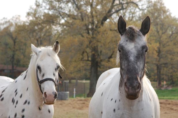Фото лошадей породы колорадо рейнджер чубарой масти