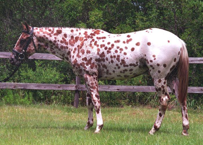 Фото лошади породы колорадо рейнджер чубарой масти