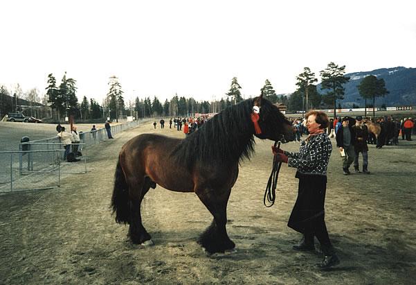 Фото лошади гудбрансдальской упряжной породы гнедой масти