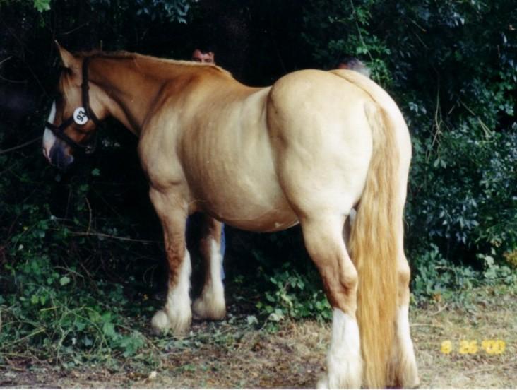 Фото лошади породы пойтеве соловой масти