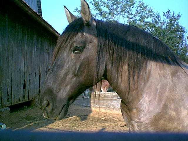 Фото лошади породы пойтеве мышастой масти