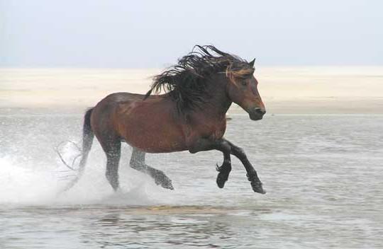 Фото лошади породы Сэйбл айленд гнедой масти