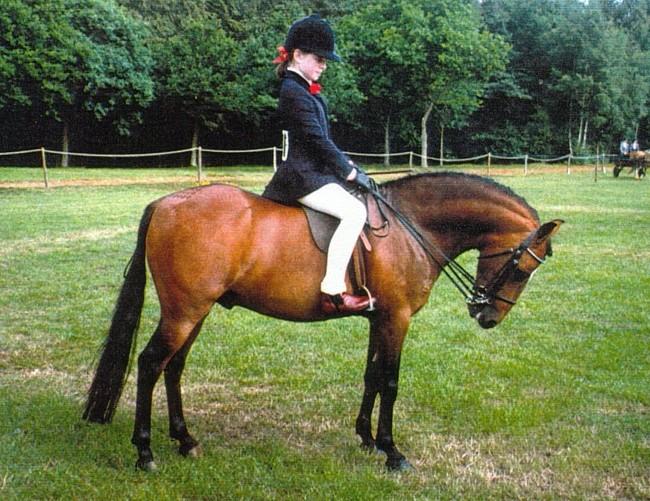 Фото лошади каспийской породы гнедой масти