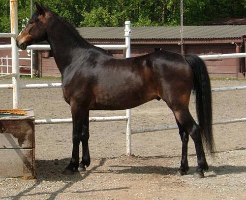 Фото лошади породы мораб темно-гнедой масти