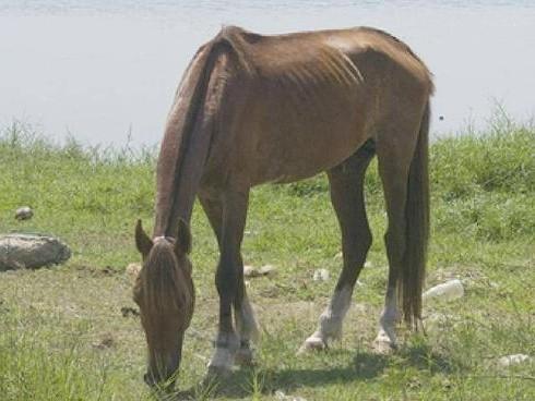 Фото лошади нигерийской породы рыжей масти