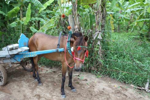 Фото лошади нигерийской породы гнедой масти